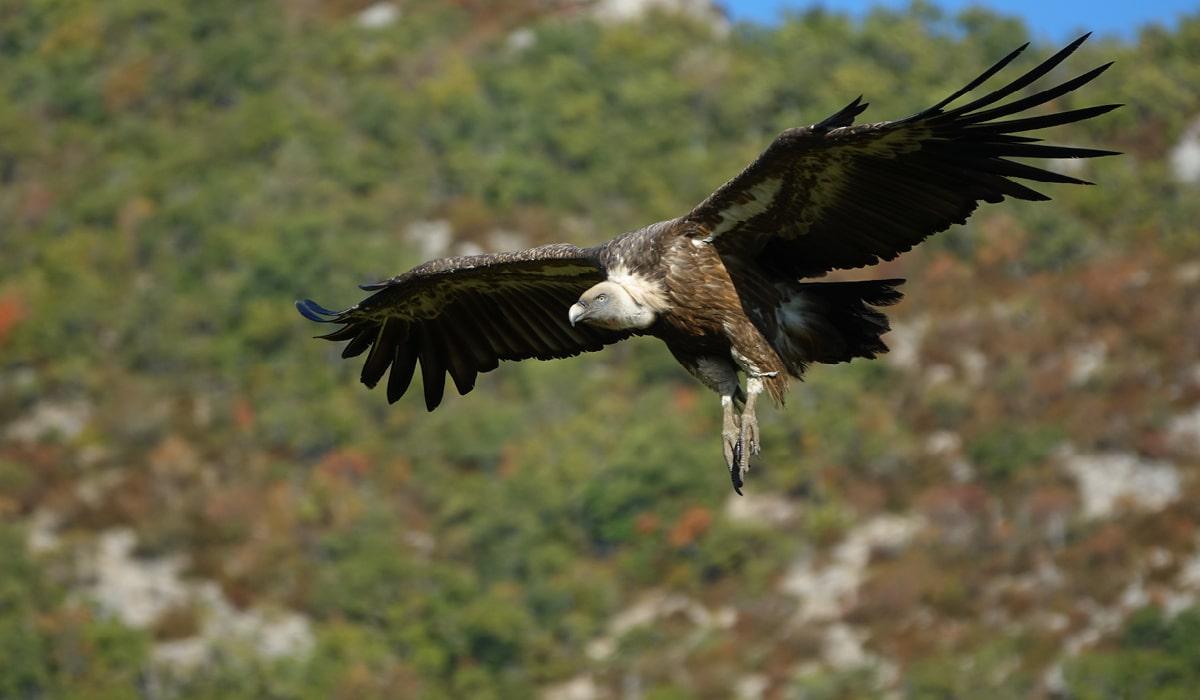 Observation des vautours en Drôme